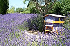 bigstock-Lavender-Field-With-Bee-House-1