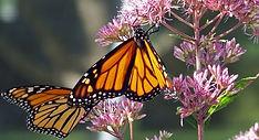 monarch_butterflies_on_a_flower_196963.j