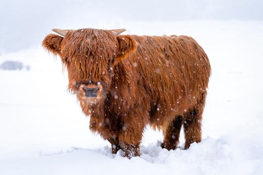 Highland Cow - 3