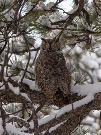 Owls Stare