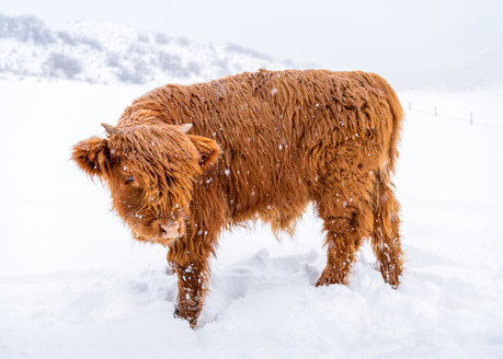 Highland Cow - 4