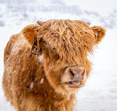Highland Cow - 8