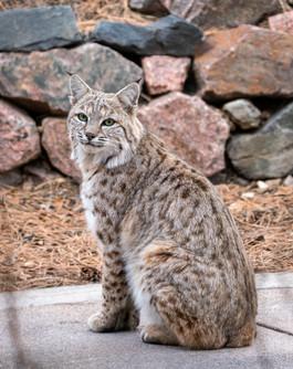 Posing Bobcat