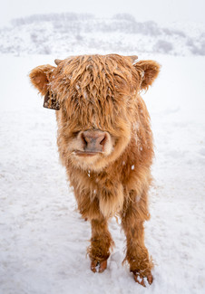 Highland Cow - 9