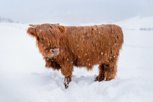 Highland Cow - 6