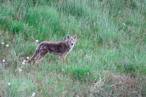 Content Coyote