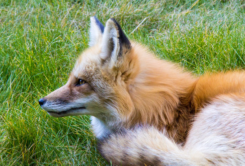 Mountain fox Breckenridge, CO 2014
