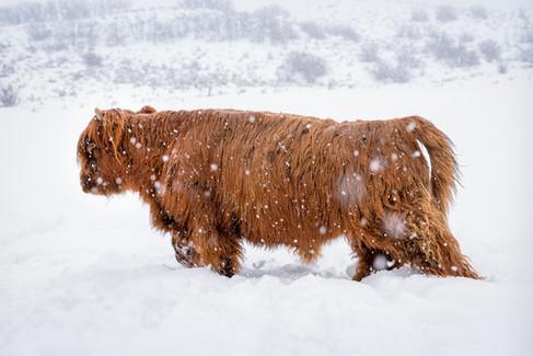 Highland Cow - 5