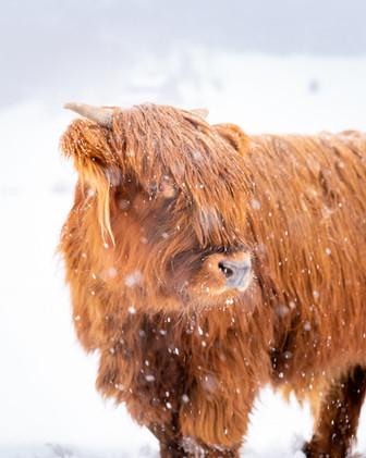 Highland Cow - 1