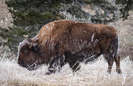 Frosty Bison I