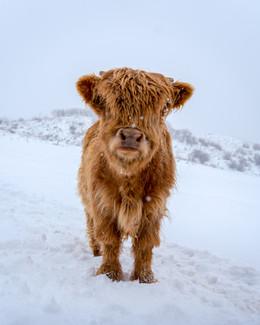 Highland Cow - 7
