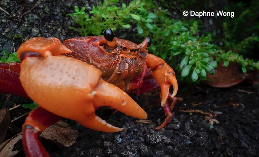 Hong Kong Freshwater Crab