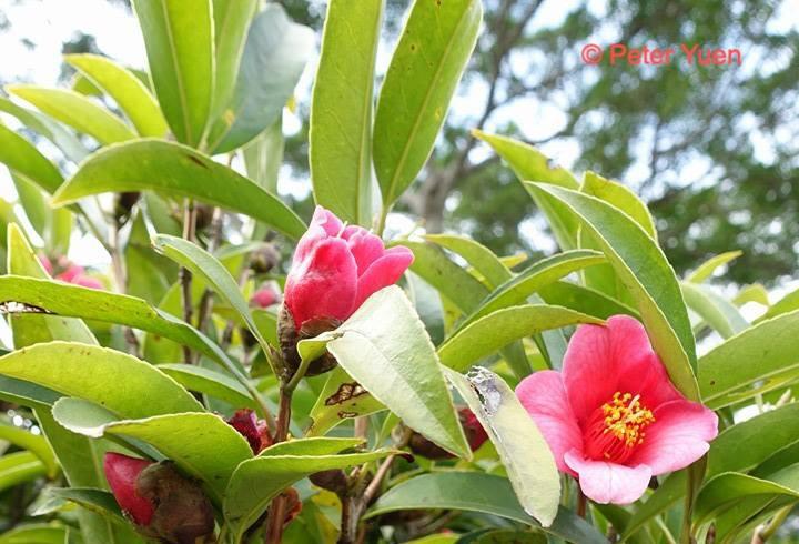 Hong Kong Camellia