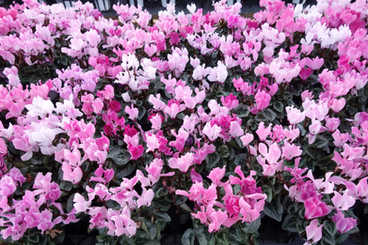 温室クロンヌ花