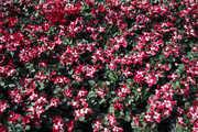 温室ジックスワインレッド花