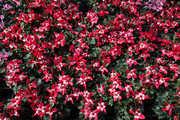 温室ジックス赤花