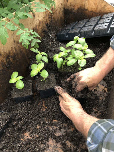 Repotting basil plant starts in preparation for the growing season.