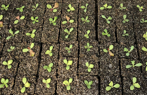 Salanova lettuce seedlings