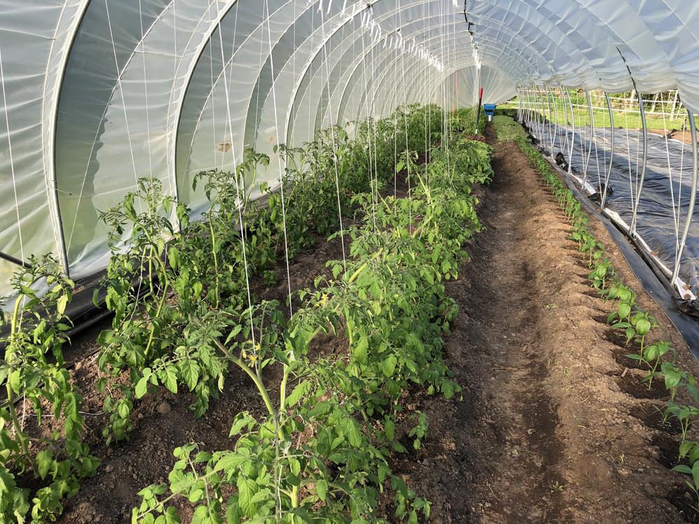 Tomatoes trellised in the caterpillar tunnel.