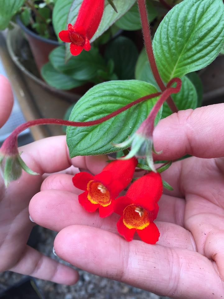 Red bell shaped flowers vine like