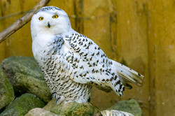 Polar owl male closeup