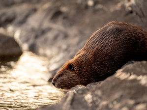 Upcoming Talk 11.4.21   Beavers: Their Landscapes, Our Future