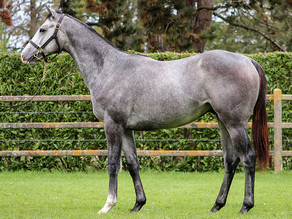 Bilan des ventes de yearlings par THE GREY GATSBY
