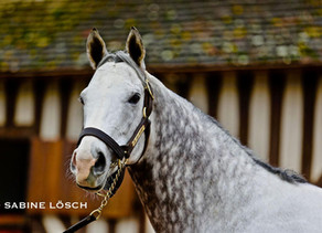 1er Yearlings de THE GREY GATSBY aux ventes d'Octobre !