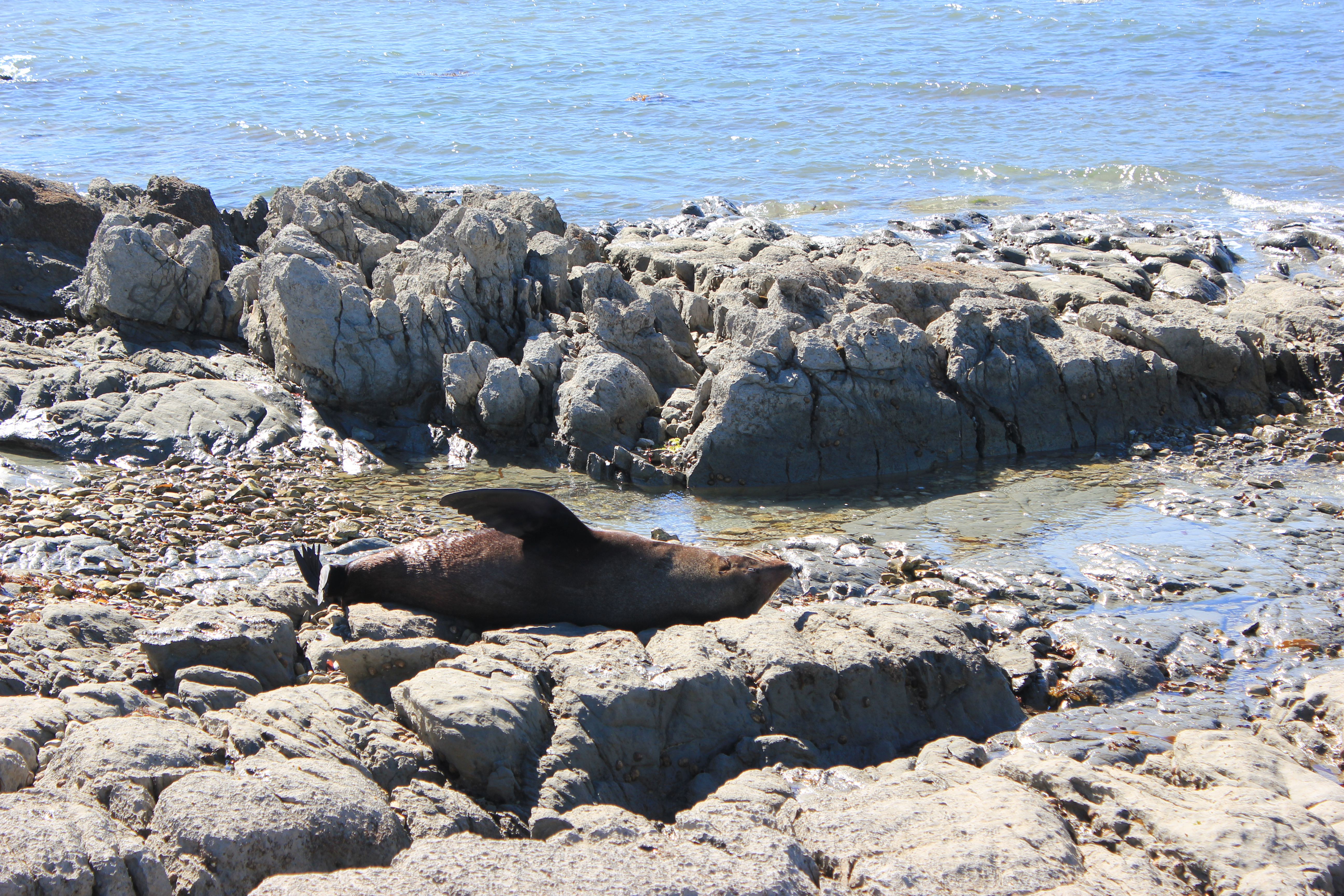 Sleeping Seal, Kaikoura
