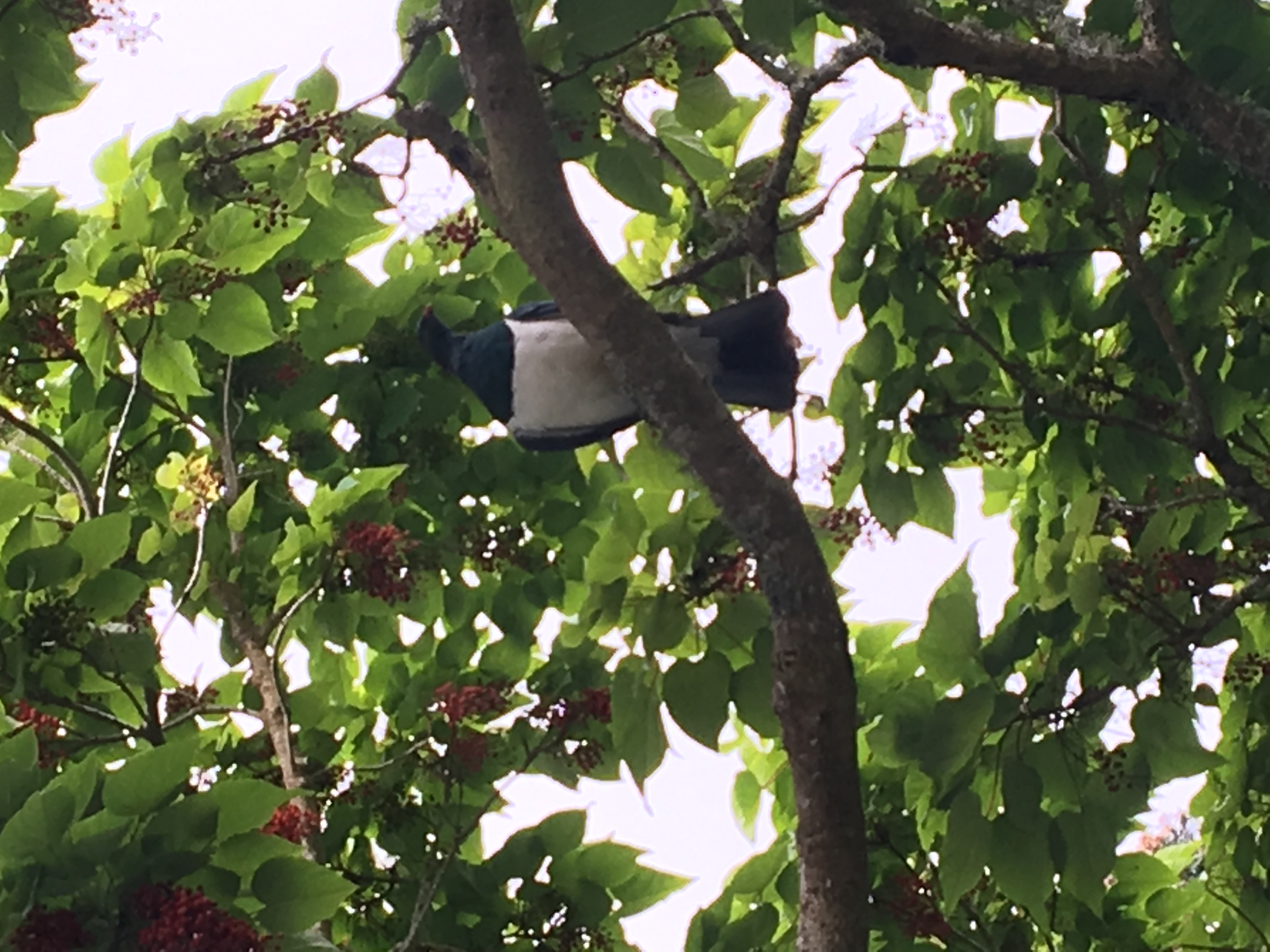 Kereru - Wood Pigeon