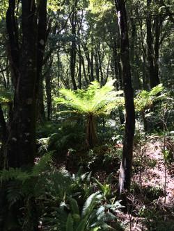 New Zealand fern