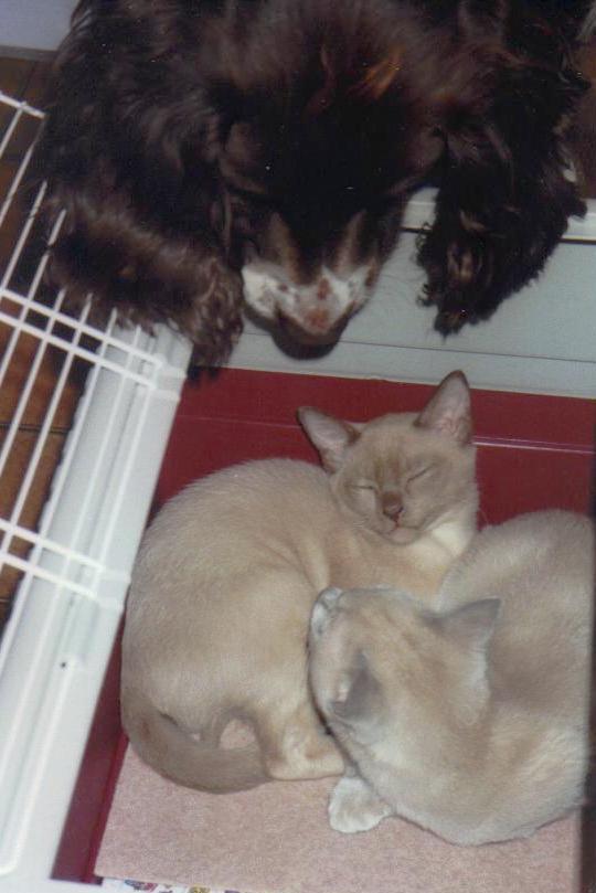 Springer spaniel Sophie meets kittens Charlie and Oscar