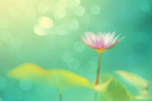 Soft Focused Image With Lotus And Blur B