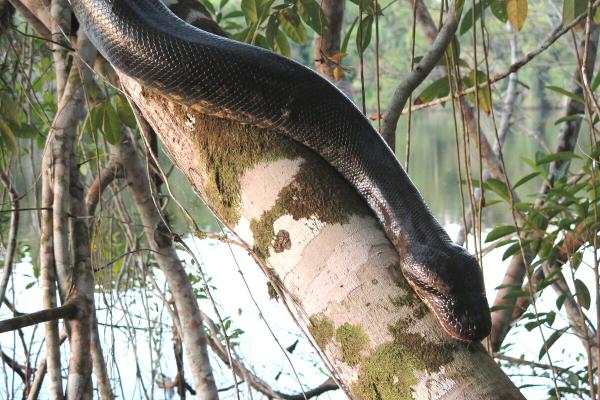 Pulmão do mundo, Anaconda e Boto Cor-de-Rosa: os mitos e verdades sobre a Amazônia
