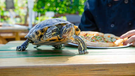 A turtle on a table