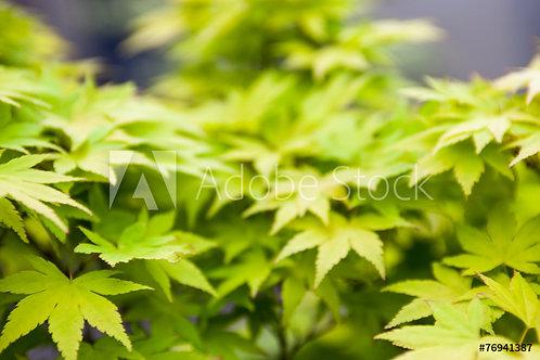 Acer palmatum | Japanese Maple