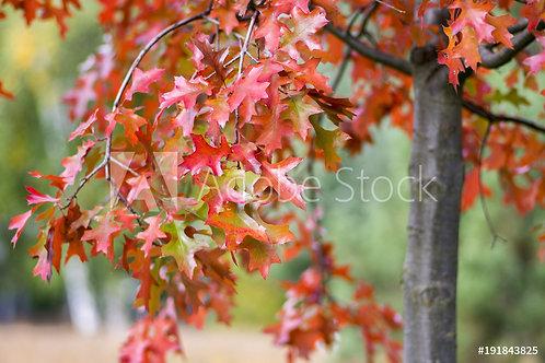 Quercus coccinea | Scarlet Oak