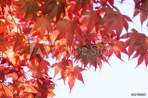 Acer palmatum Atropuperium | Japanese Red Maple