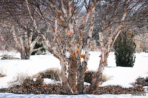 Betula nigra 'Heritage' | Heritage Birch