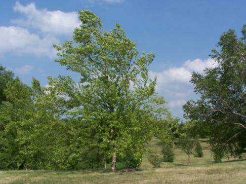 Betula nigra 'Dura Heat' | River Birch