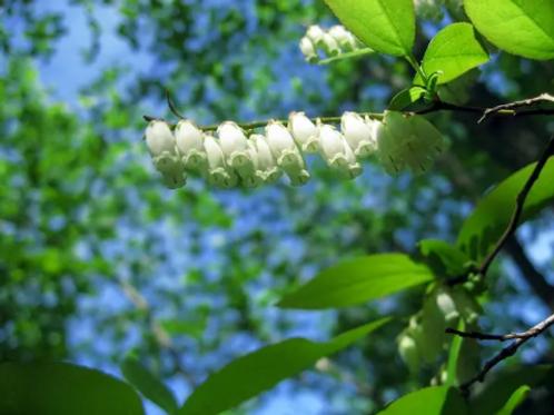 Qxydendrum arboreum   Sourwood
