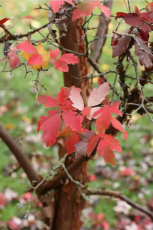 Acer griseum | Paper Bark Maple
