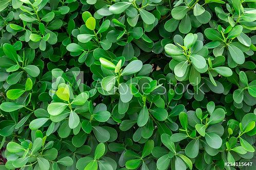 Buxus 'Green Beauty' | Boxwood
