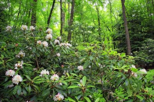 Rhododendron maximum