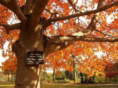 Acer rubrum 'Autumn Blaze' | Red Maple