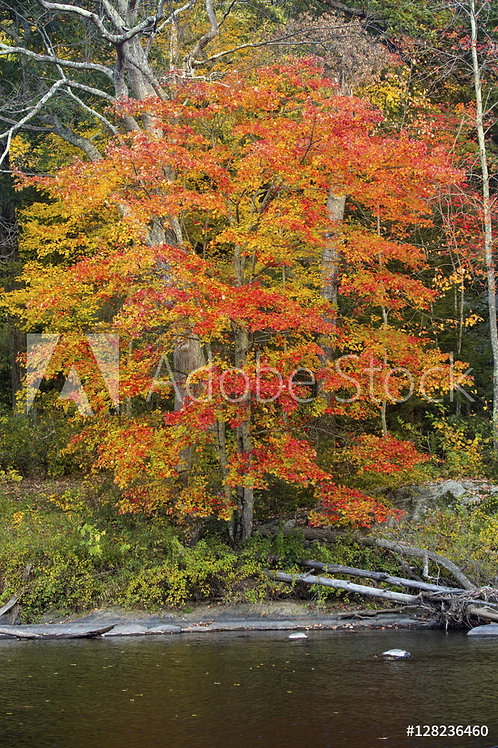 Acer rubrum 'October Glory' | Red Maple