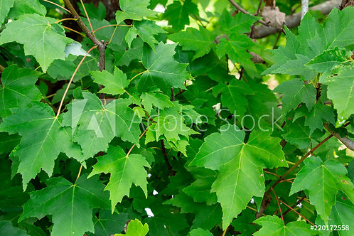 Acer rubrum | Red Maple