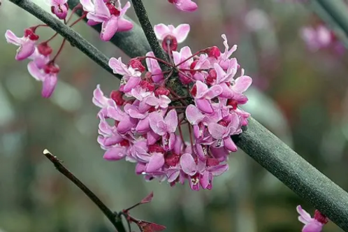 Cercis canadensis | Eastern Red Bud
