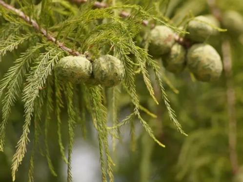 Taxodium distichum | Bald Cypress