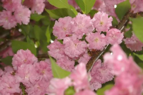 Prunus kwanzan   Kwanzan Cherry